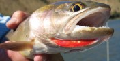Partnership Honored for Helping Yellowstone Cutthroat Trout Image